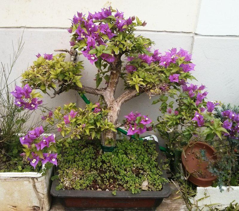Grand bougainvillier mes bonsa s la r union - Comment faire un bonsai ...