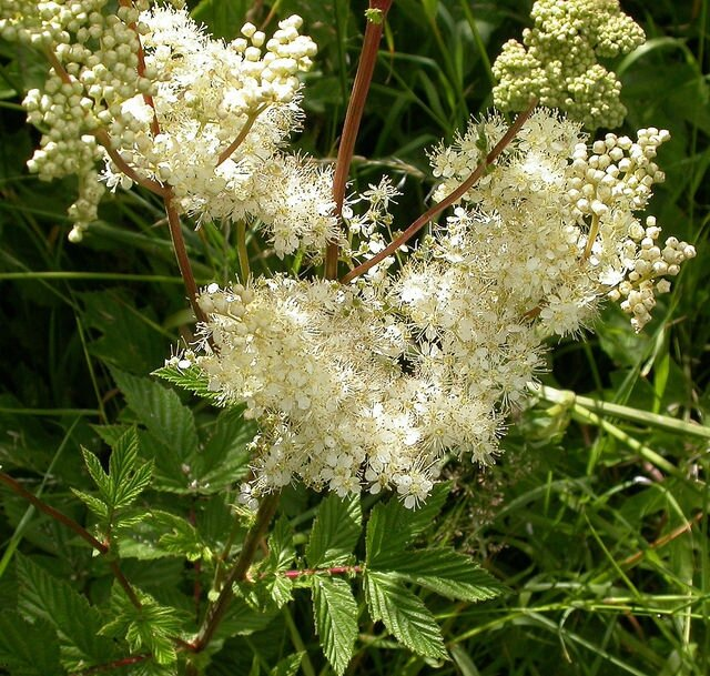 Filipendula ulmaria (Source: Flickr)