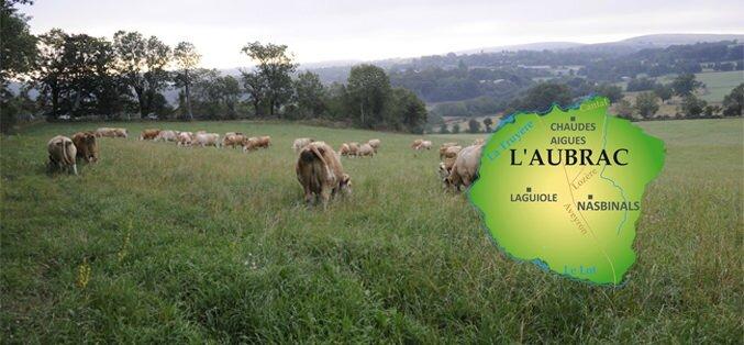 champ-vaches-aubrac