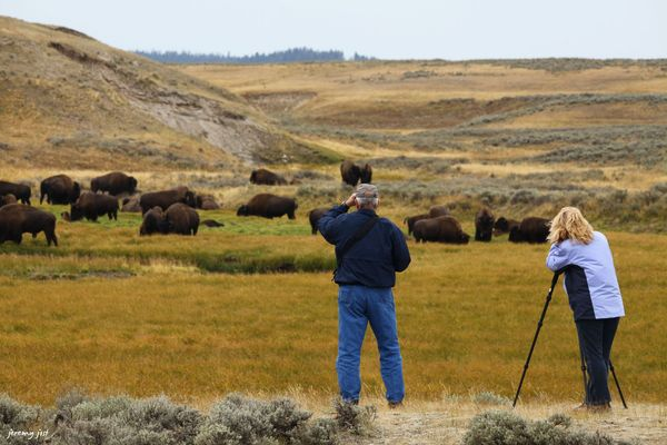 Observation faune Yellowstone