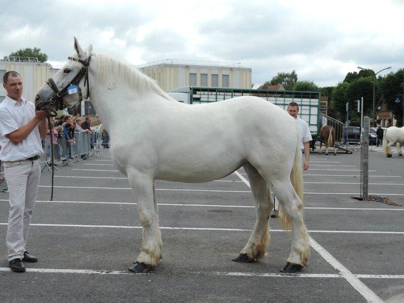 Divine de Manin - 18 Juin 2016 - Concours d'élevage local - St Pol sur Ternoise - 1ere (3 ans)