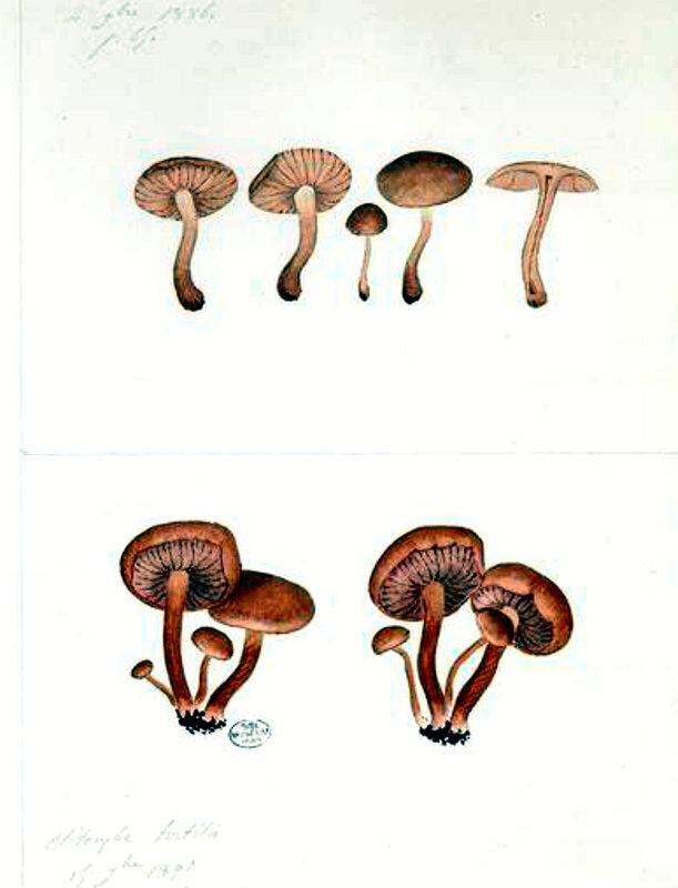 117 Clitocybe tortilis Laccaria