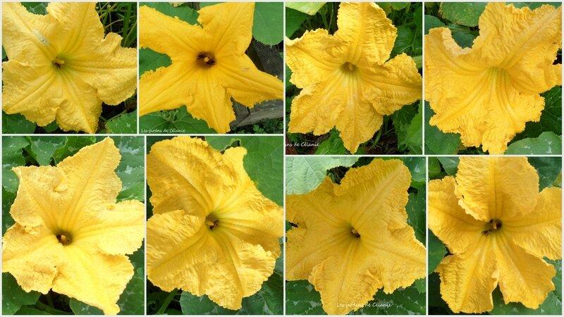 fleurs de potiron