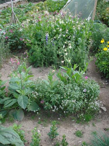 2008 08 25 Mélange de fleurs parfumées, pieds d'alouettes, tabac d'ornement