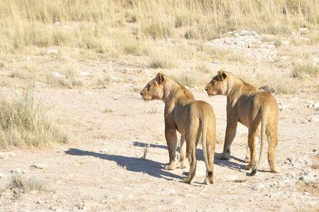 Lionnes, parc d'Etosha, Namibie