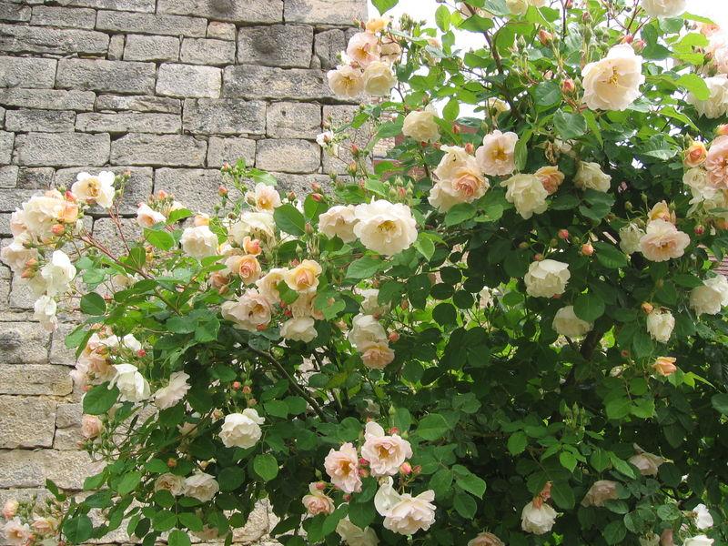 Rose ancienne : 'Pénélope'