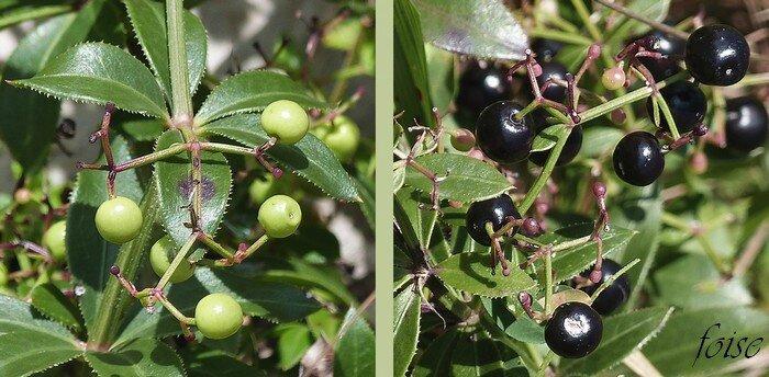 baies vertes luisantes noires à maturité
