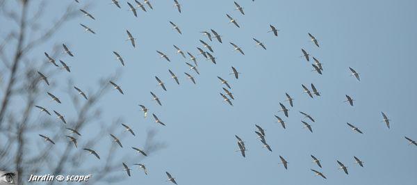 Vols migratoires des grues cendrées au dessus d'Orléans