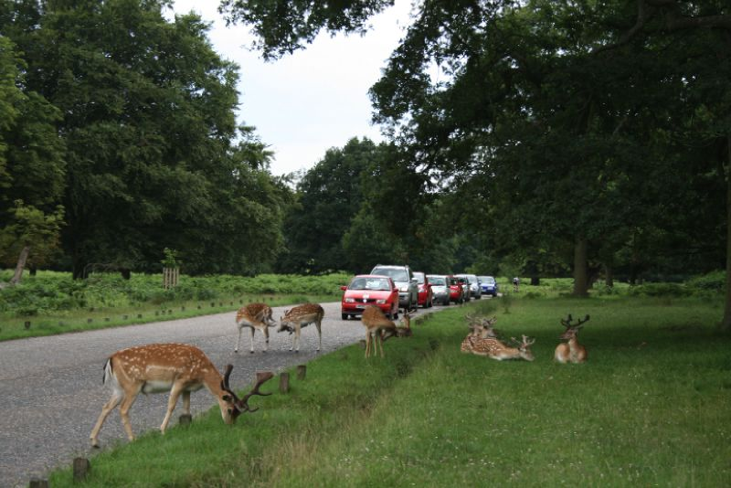 Embouteillage à Richmond Park