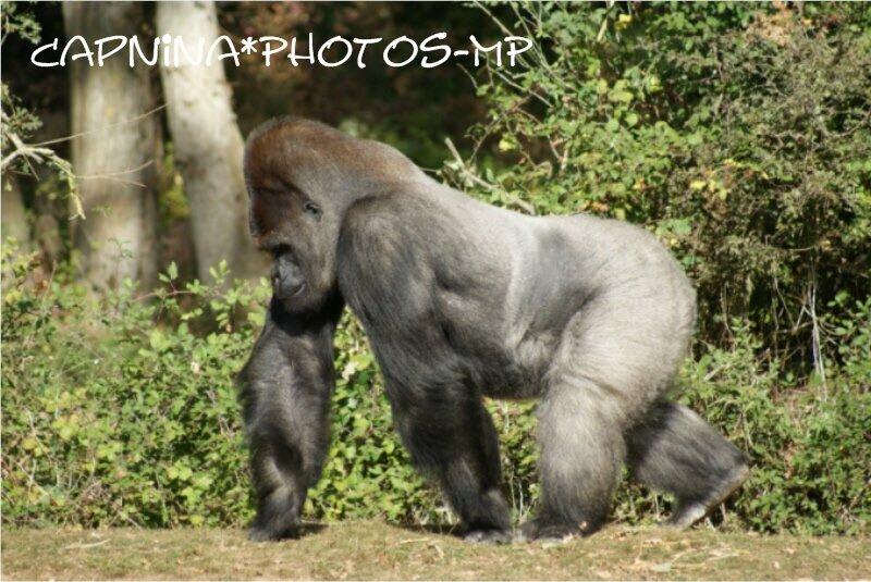 Extrem Le mâle dos argenté gorille des plaines - Photo de ZE- La vallée  FM41