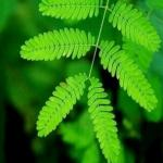 mimosa-pudica-plante-sensitive-graines