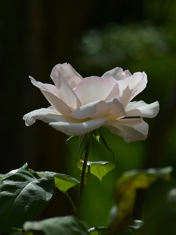 Rose Sophie 13 13-05-16