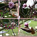 1ere fleur 2014 prunus 4