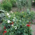 2008 08 25 Dahlias nain, rose d'Inde sunset, agrostemma et lavatère