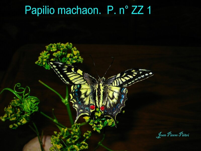 Papilio machaon n° ZZ1