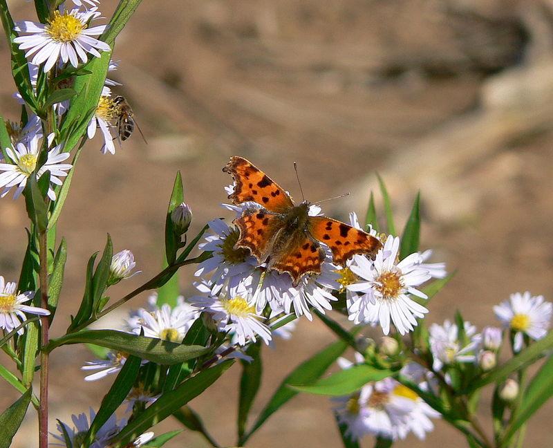 papillon : le robert-le-diable (et une abeille) sur des asters