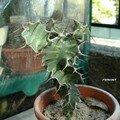 Euphorbia breviarticulata
