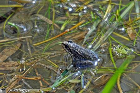 Grenouille rieuse • Pelophylax ridibundus