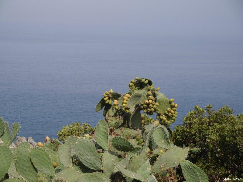 Les cactus du cap Spartel