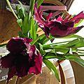 La tulipe (presque) noire