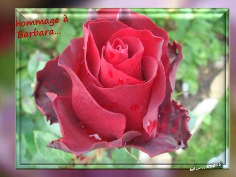 balanicole_2016_11_les nouveaux rosiers de balanicole_B comme Hommage à Barbara_07