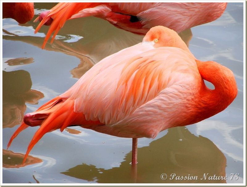 Les flamants roses (10)
