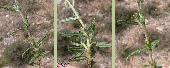 feuilles grisâtres bords enroulés stipules en alènes
