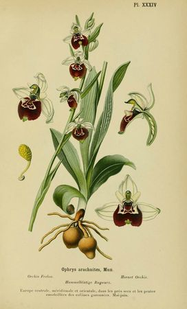 0177-orchidee---ophrys-frelon--ophrys-arachnites
