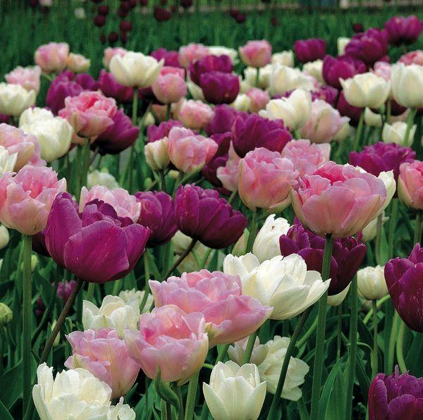 Tulipe dble Delight Jex