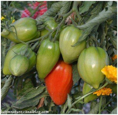 tomate coeur de boeuf jardin 2014