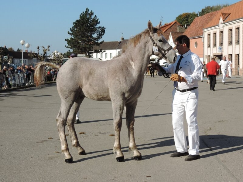 Helios de Montrelet (75% Boulonnais) - 15 Octobre 2017 - Concours de Poulains d'Hucqueliers (62) - 4e (Poulains Livre B de l'année)