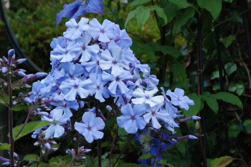 Phox paniculata 'Blue Evening'