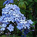 Phlox paniculata 'blue evening'