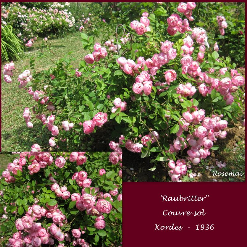 Roses anciennes : 'Raubritter'