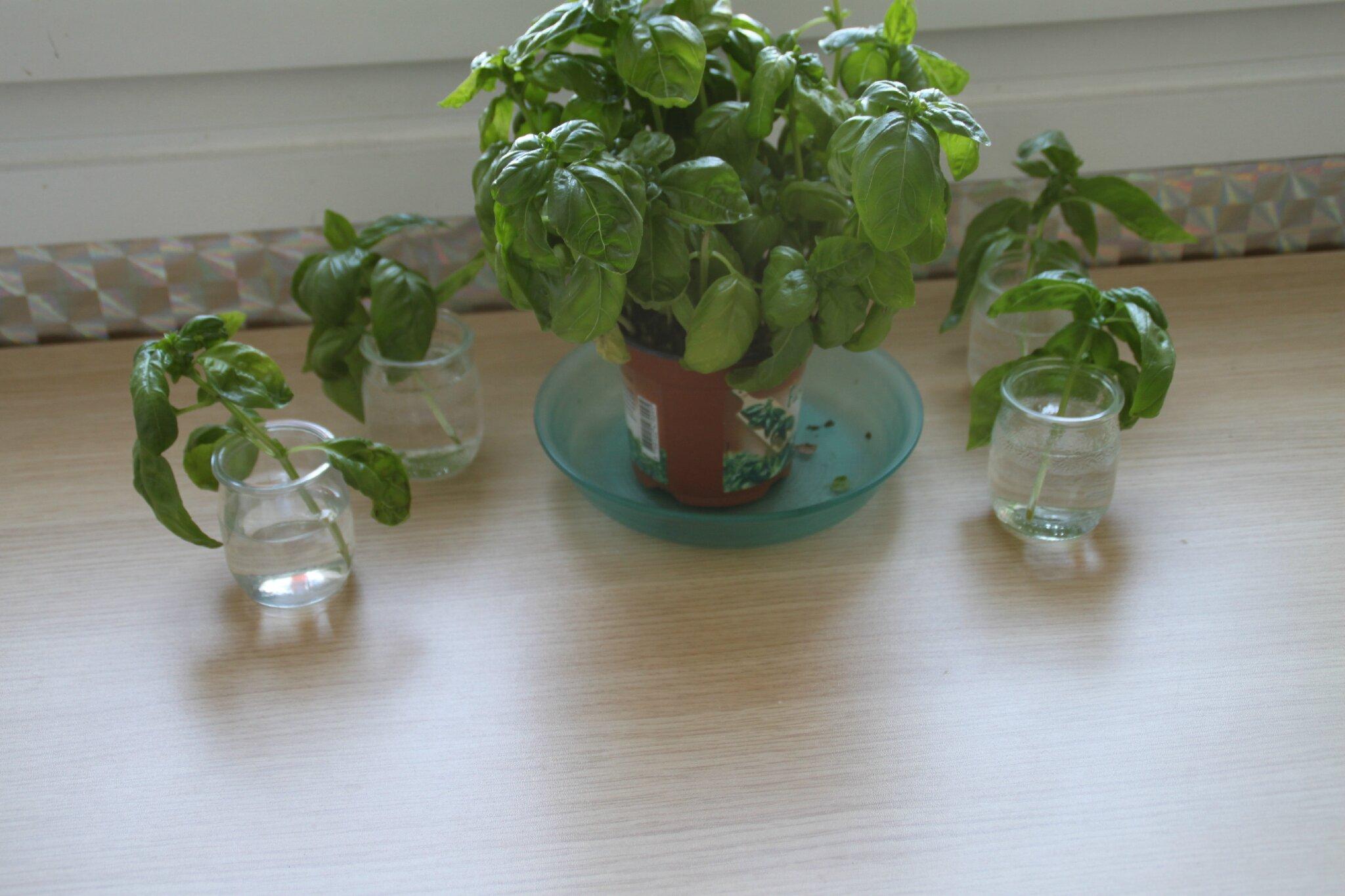 Comment faire des replants de basilic couper une mon petit jardinet du balcon - Comment couper le basilic ...