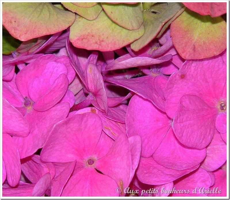 Hortensias aux couleurs de l'automne (17)
