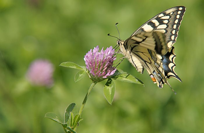 machaon_1