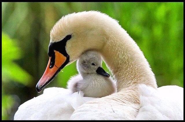 cygne et son bebe