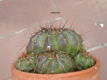 Notocactus_ottonis__2_