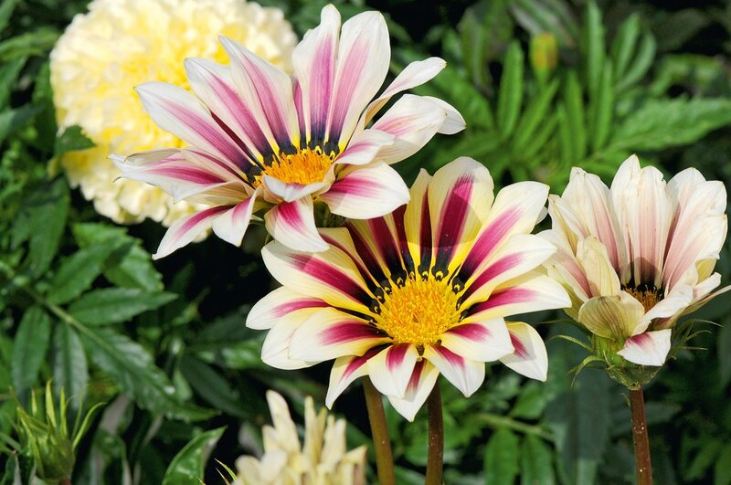 Gazania Big Kiss White FlameJEX