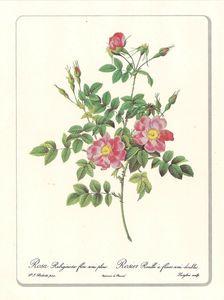 Planche botanique Rose Rubiginosa