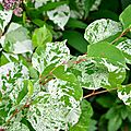 Fallopia japonica compacta variegata