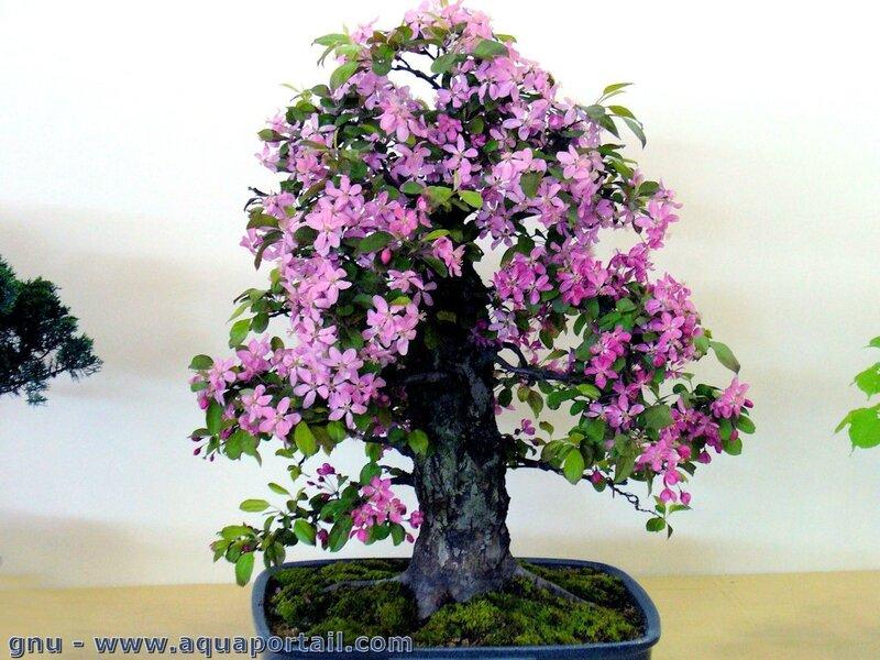 bonsai-pommier-malus-halana-en-fleur