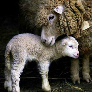 Mouton parent et enfant chez gloewen et scrat