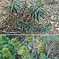 Euphorbe characias (euphorbiacées)