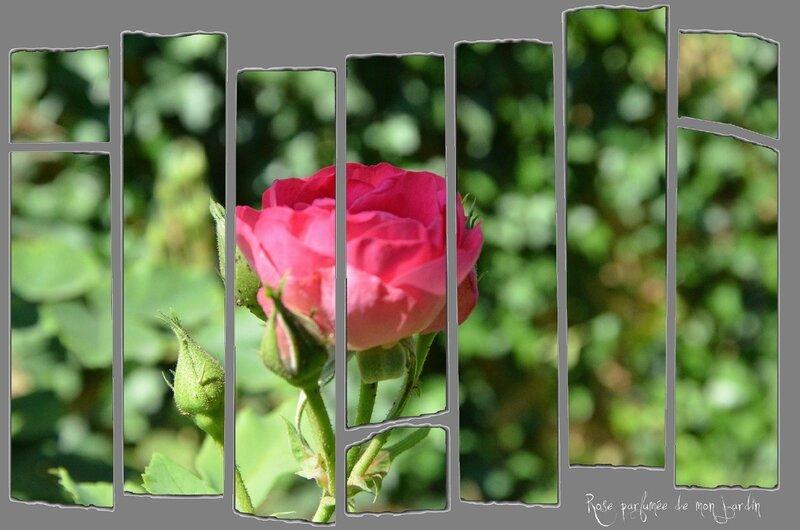 montage rose parfumée