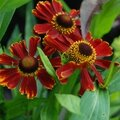 Helenium 'potter's wheel'