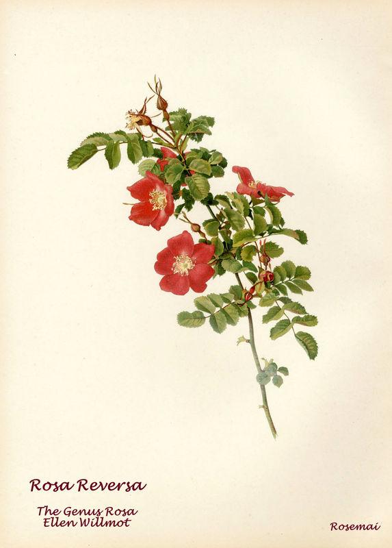 The Genus Rosa - Rosa Reversa