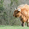 Red Highland Cattle (3)