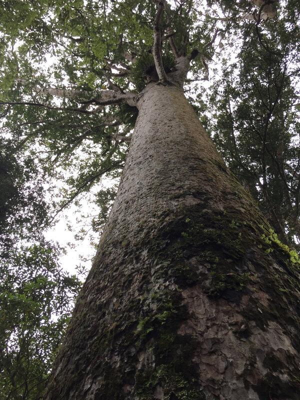 Kauri_tree